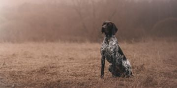 The Noble German Shorthaired Pointer