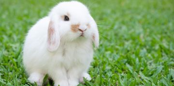 How to Care for a Holland Lop