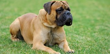 English Mastiff: The Gentle Giant