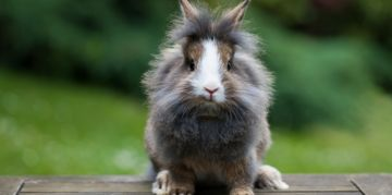 The Small but Mighty Lionhead Rabbit