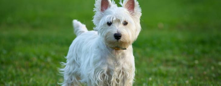 The West Highland Terrier: An Independent Family Dog
