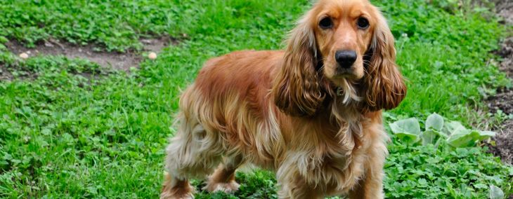 Dockers: The Best of Cocker Spaniels and Dachshunds