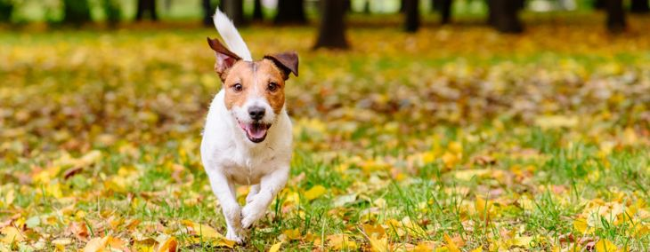Fun, Feisty, and Famous: Jack Russell Terriers