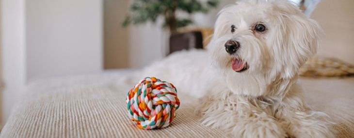 Is a Maltese the Right Dog for You?