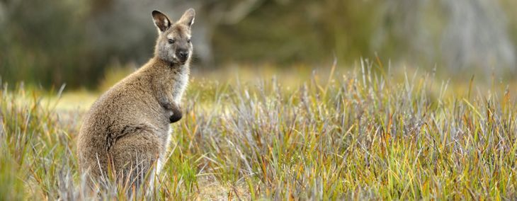 The Wallaby: An Exotic Australian Companion