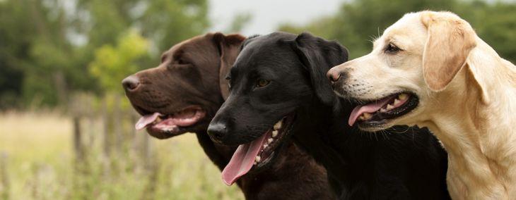 Labrador Retrievers: America's Top Dog
