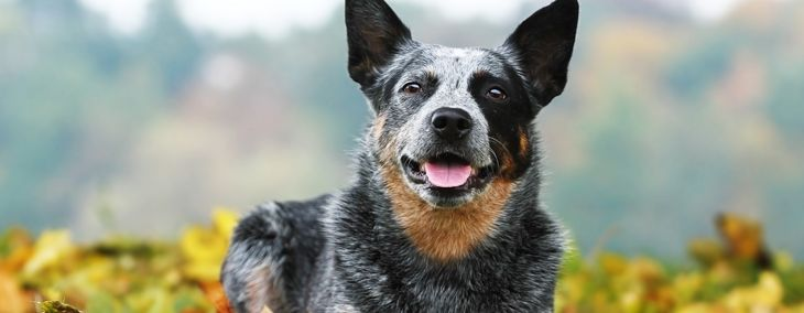 Australian Cattle Dogs: Companion Dog Extraordinaire