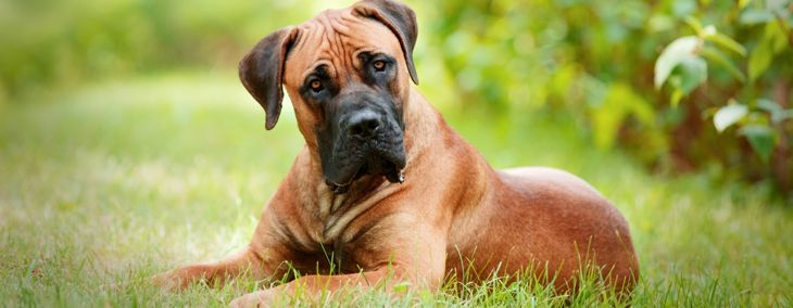 Looking for a Guard Dog? Consider the Boerboel