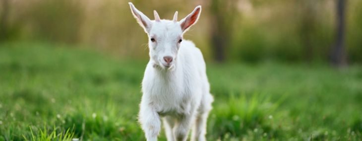 Caring For a Pet Pygmy Goat