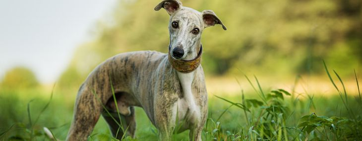 The Wonderful Whippet