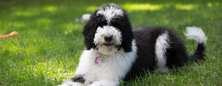 The Loyal and Lovable Sheepadoodle