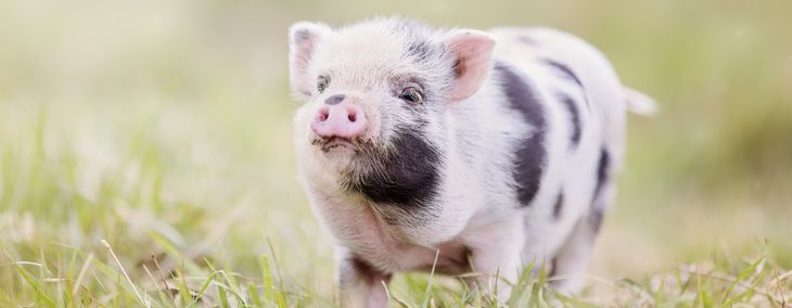 What To Know Before Adopting a Teacup Pig