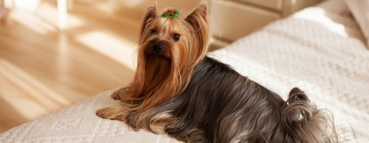 The Most Popular Toy Breed: The Yorkshire Terrier