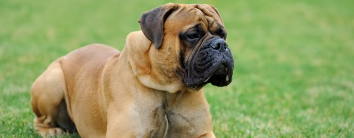 English Mastiff: The Gentle Giant