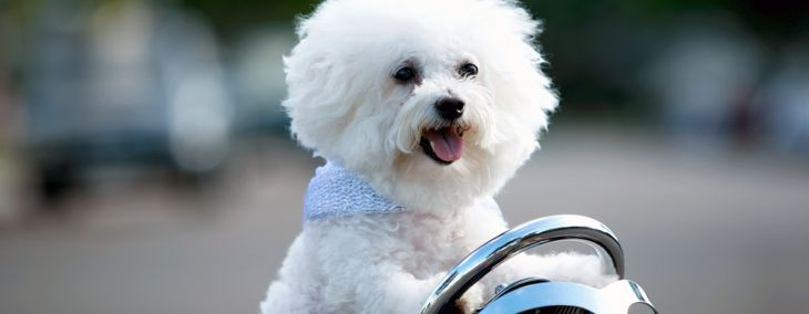 The Happy, Energetic Bichon Frise