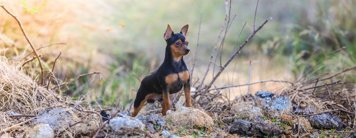 Miniature Pinscher: The King of Toy Breeds