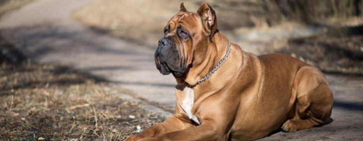 The Cane Corso:  A Gentle Guardian