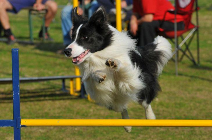 Border Collie Service Dog K9