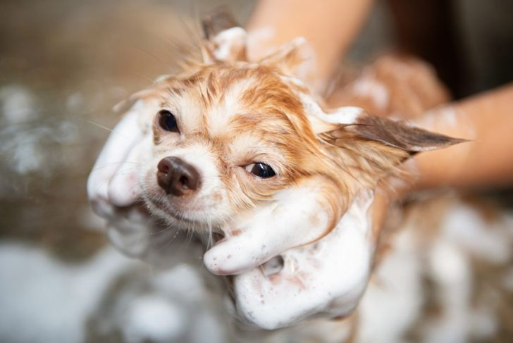 Shampoo as directed by your vet