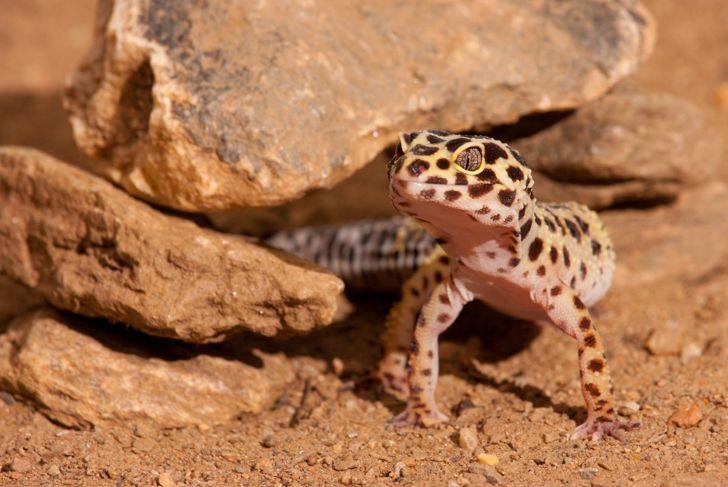 A healthy leopard gecko.