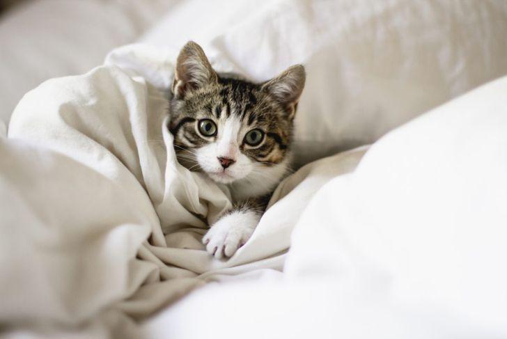 kitten, cute, blanket