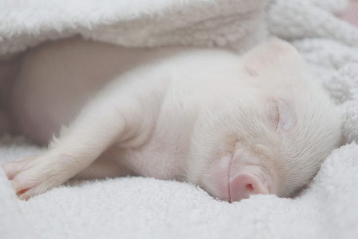 piglet wrapped in a white blanket