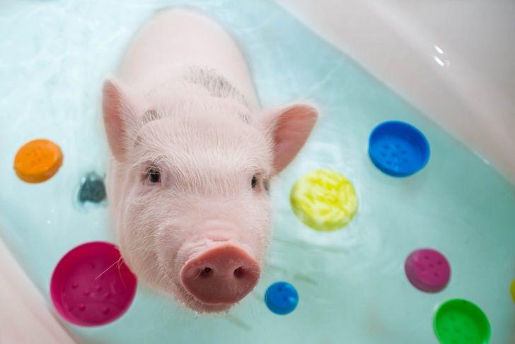 teacup pig in the bathtub
