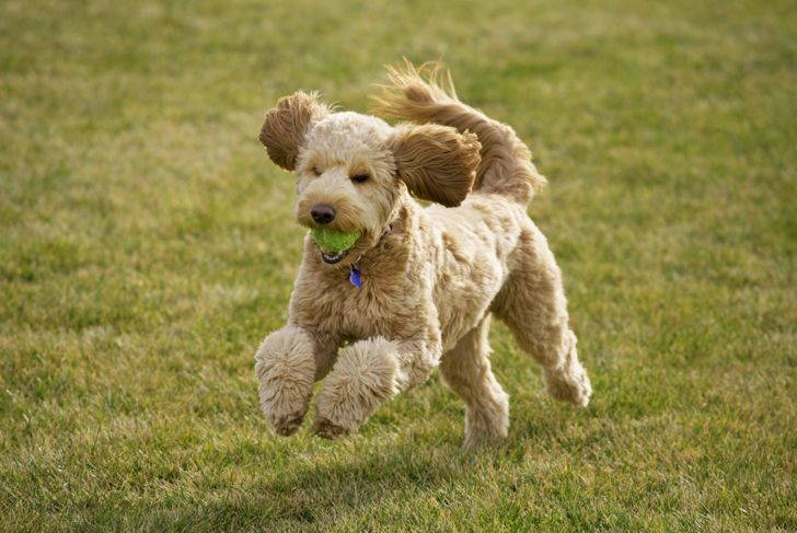 A goldendoodle playing with a ball