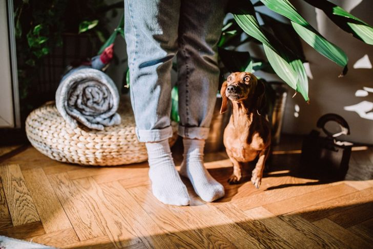miniature dachshund at home with owner