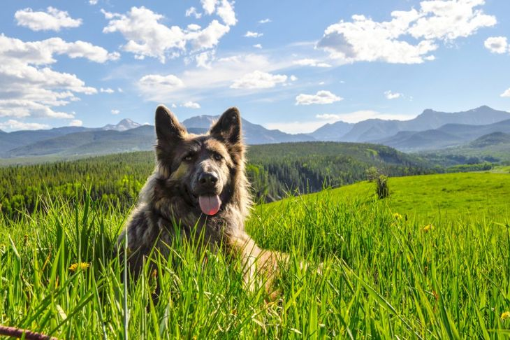 Shiloh shepherd in a field