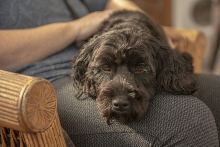Cockapoo lying on owners lap