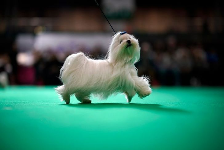 Show maltese long fur
