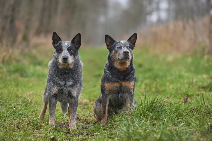 queensland roots australian cattle dog