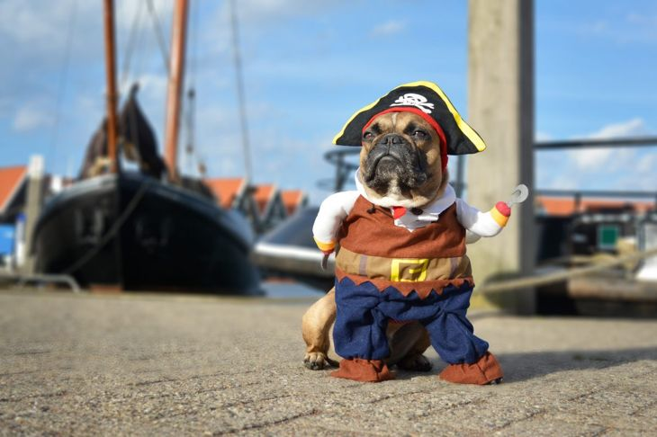 Dog in pirate Halloween costume