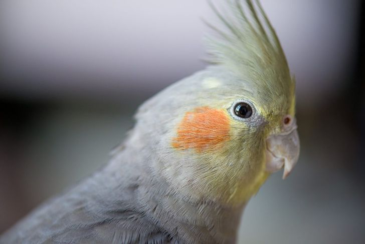 Frightened cockatiels can accidentally hurt themselves in a cramped cage.