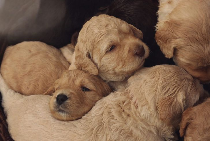A litter of Australian Labradoodles cuddle for comfort.