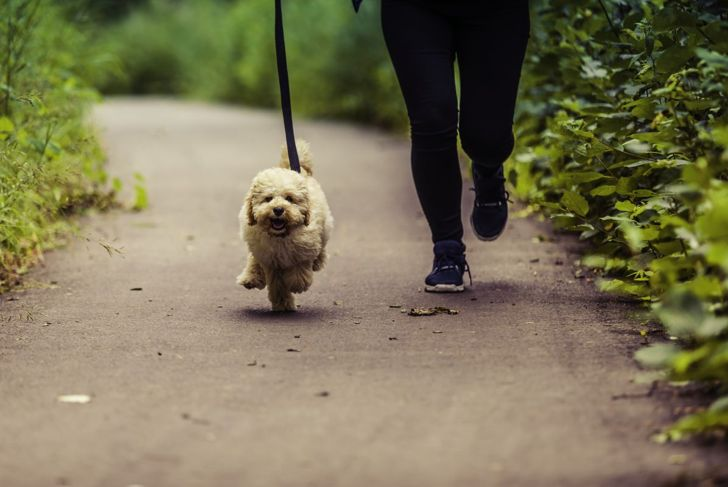 A Maltipoo excitedly running alongside its owner.