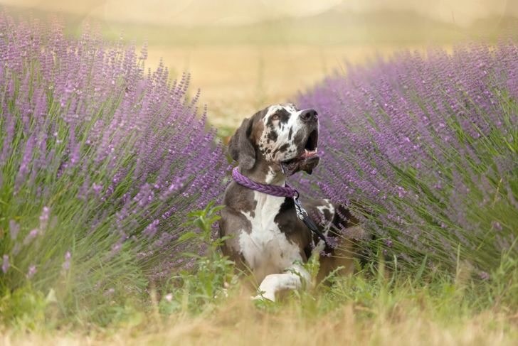 Lavender is a popular choice for nervous dogs.