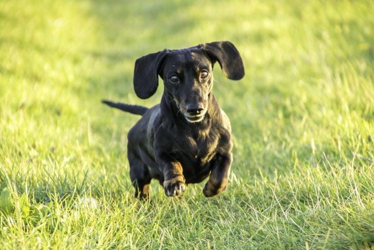 miniature dachshund running through grass