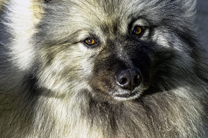 mispronounce name devoted keeshond