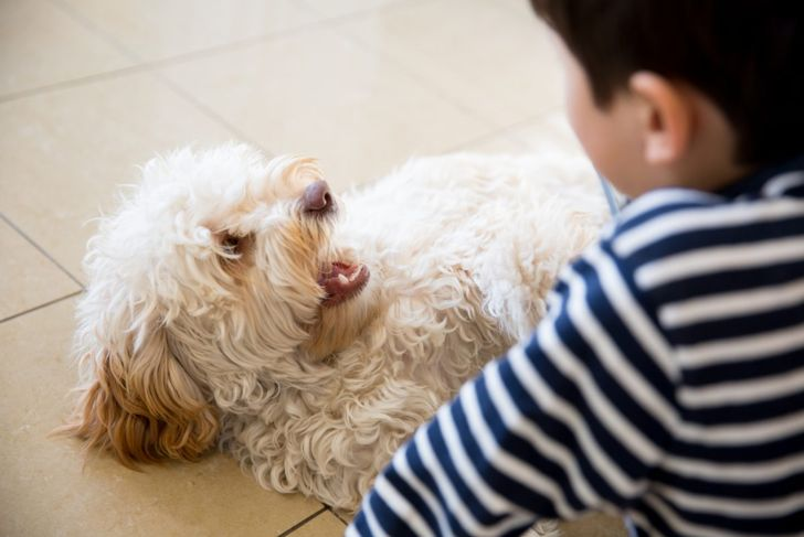 cockapoo playing with young boy
