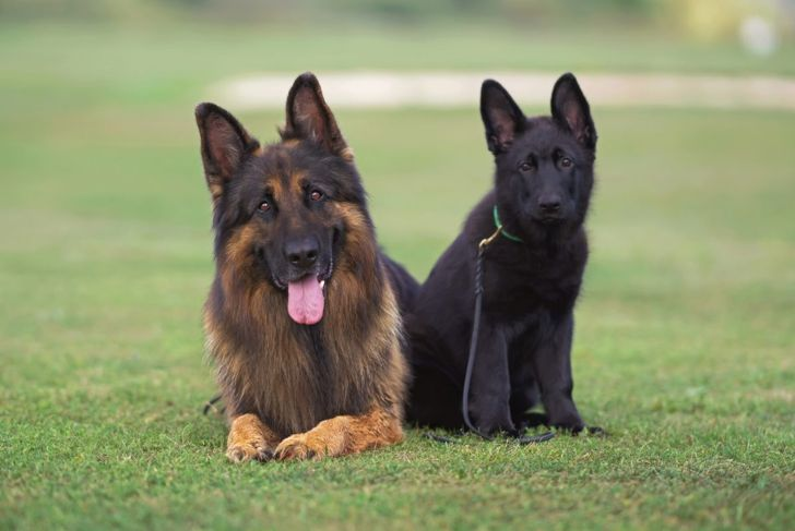 Two king shepherds of different colors