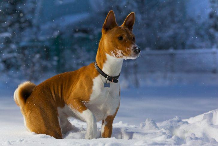 medium sized canine hound basenji