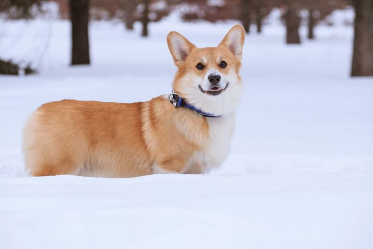 corgi outside snow