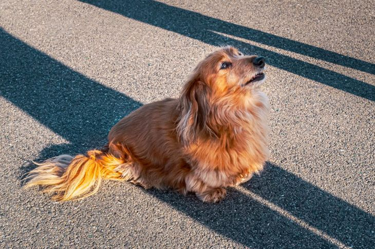 long haired miniature dachshund dog