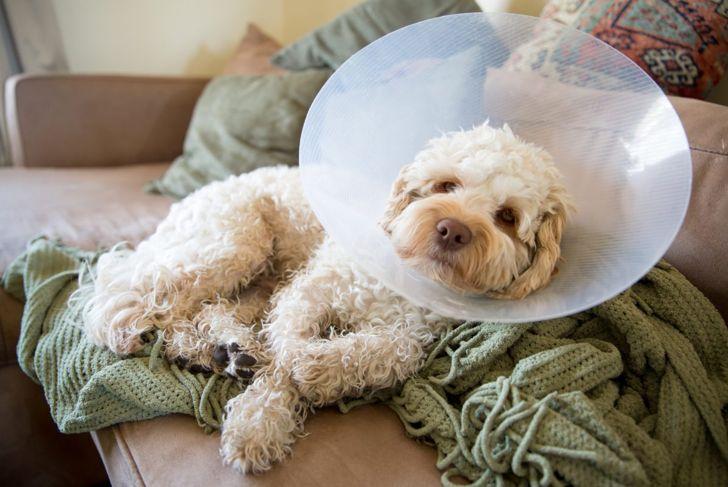 cockapoo ill neck cone unwell
