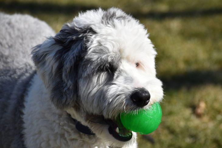 sheepadoodle play