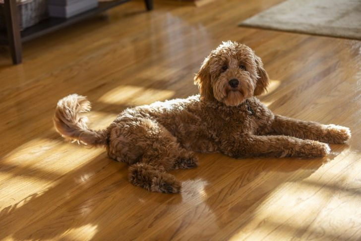 An average-sized standard goldendoodle