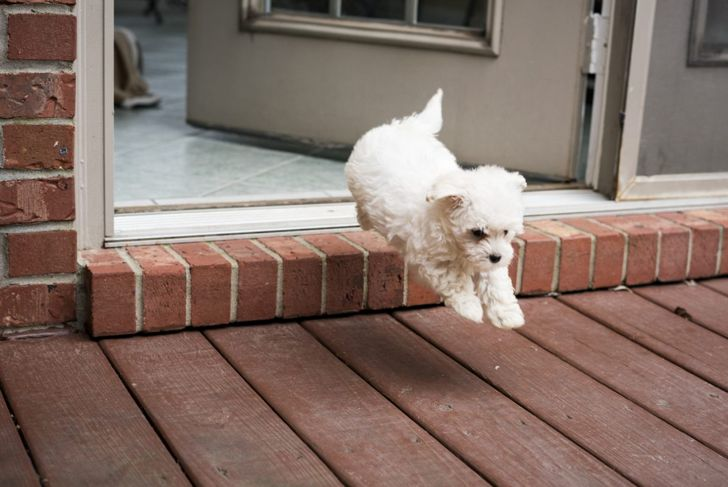 An active Maltipoo jumping outside.