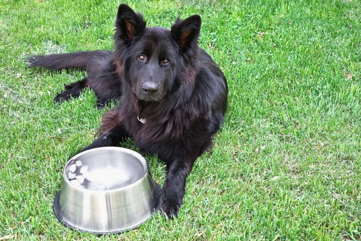 King shepherd with water bowl